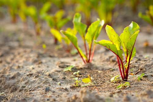 Выращивать свеклу несложно и под силу даже начинающим садоводам