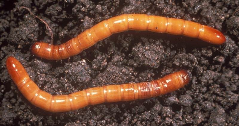 Проволочник грызет луковицу гладиолуса, проделывая дыры круглой формы, чем провоцирует появление бактериальных болезней