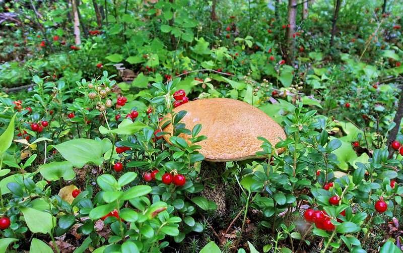 Грибной сезон в Белоруссии начинается в апреле и длится до конца октября