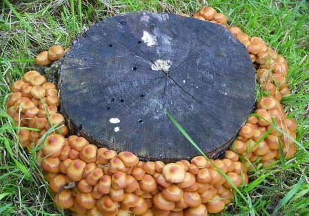 Некоторые обладатели своих участков задумываются над выращиванием грибов непосредственно на грядках