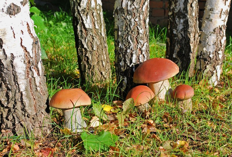 Главной особенностью лесных грибов является то, что растут они возле берез, сосен, дубов и других лесных деревьев