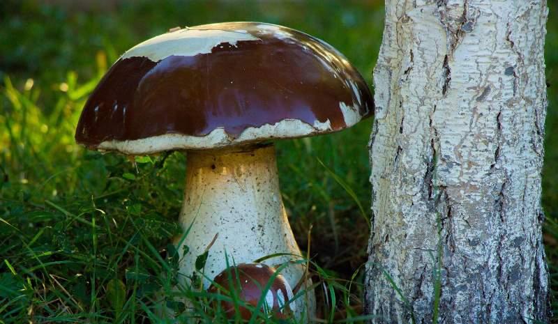 Белые грибы растут рядом с елью, березой, дубом или сосной