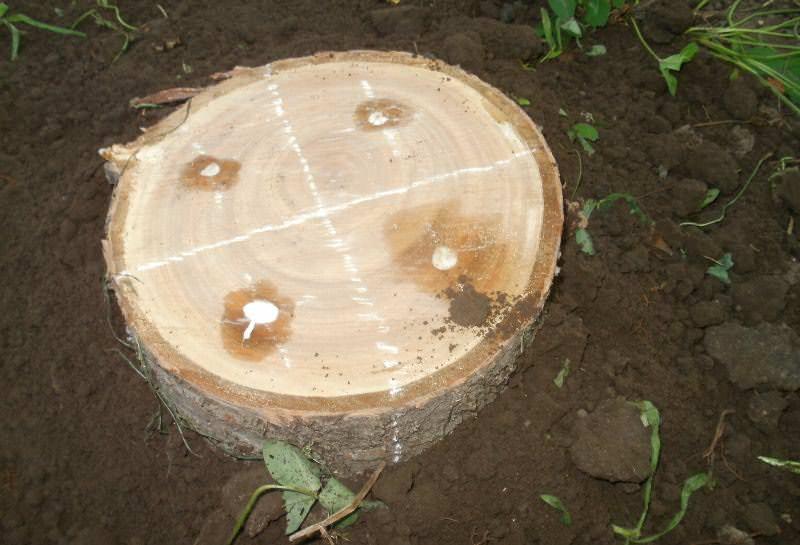 Для поддержания плодородности рекомендуется ежегодно вносить на участок споры грибов