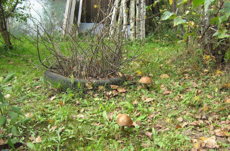 Грибы, выращиваемые на собственном участке, практически не повреждаются вредными насекомыми