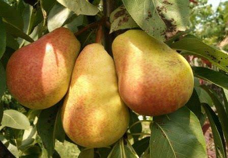 Груша является одним из популярных плодовых деревьев в России