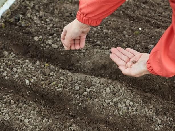 Температура почвы, в которую сажают свеклу, должна быть не менее +7°С