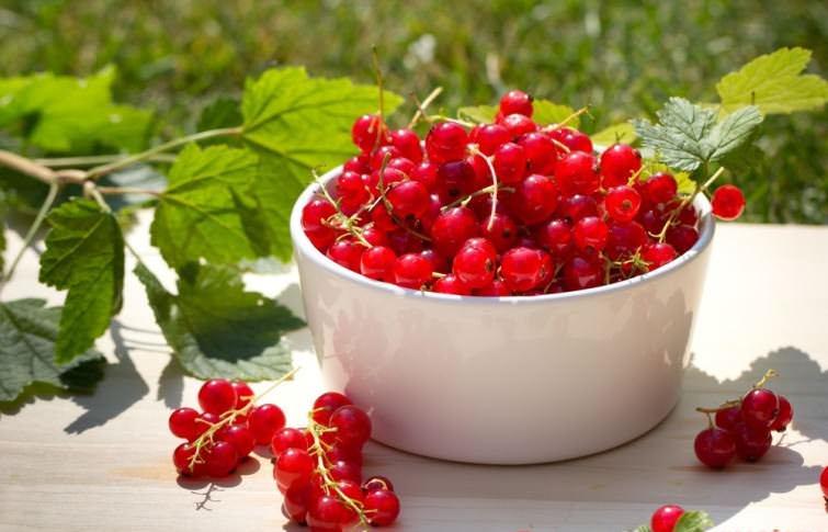 Ягоды красной смородины по витаминности не уступают цитрусовым, что делает их незаменимыми в питании