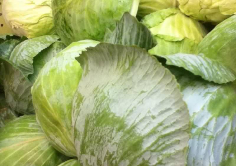 Несмотря на строгие условия, успешное и качественное хранение белокочанной капусты вполне возможно