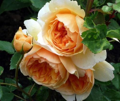Розы Дэвида Остина чрезвычайно популярны