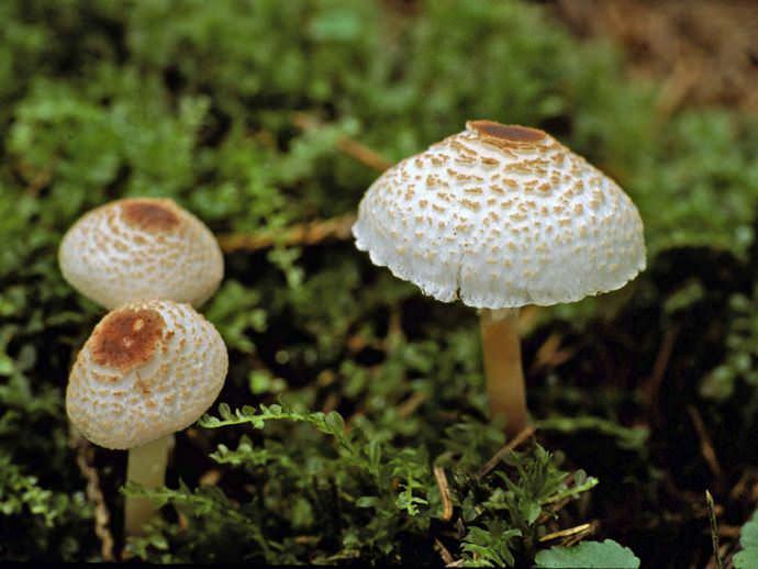 Гриб-зонтик гребенчатый или леопита гребенчатая является представителем семейства шампиньоновых