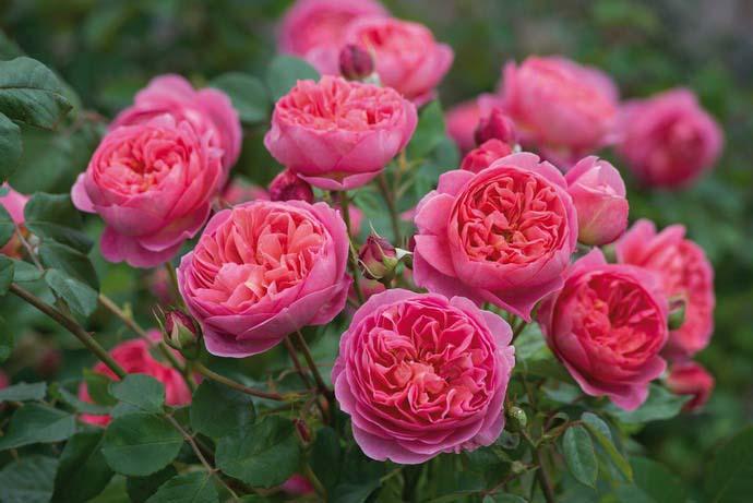 Розы Дэвида Остина достаточно неприхотливые в уходе