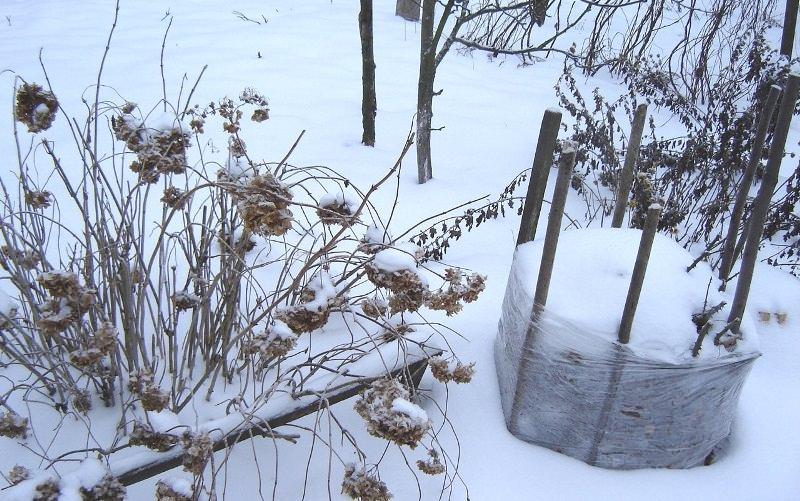 Если розы были осенью спрятаны под дополнительным укрытием, то его снятие является важным моментом для сохранности кустов весной