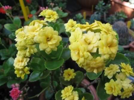 Каланхоэ блоссфельда - это очень неприхотливое комнатное растение