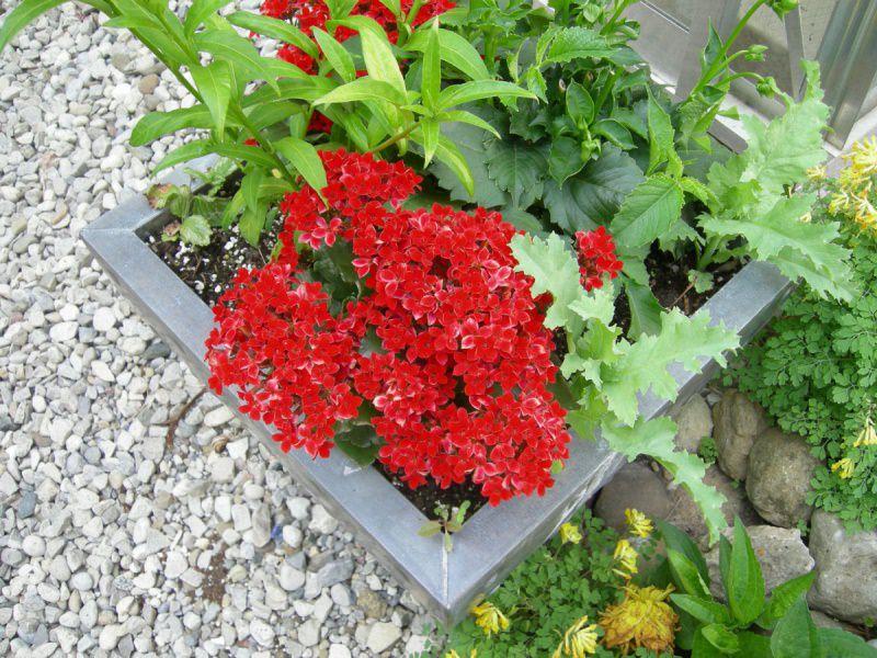 Существует несколько основных разновидностей данного цветка - это декоративноцветущие, лиственные и ампельные сорта