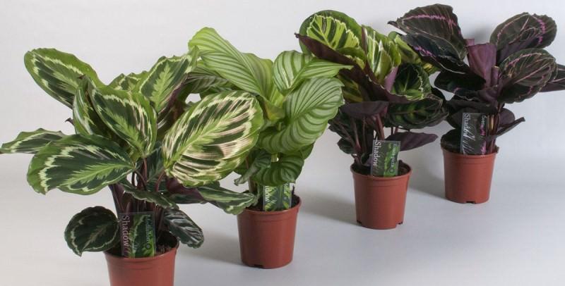 Калатея (лат. Calathea) - вечнозеленое многолетнее растение с крупной корневой системой из семейства Марантовых