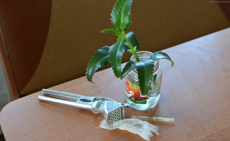 Каланхоэ является растением, применяющимся в лечении различных заболеваний