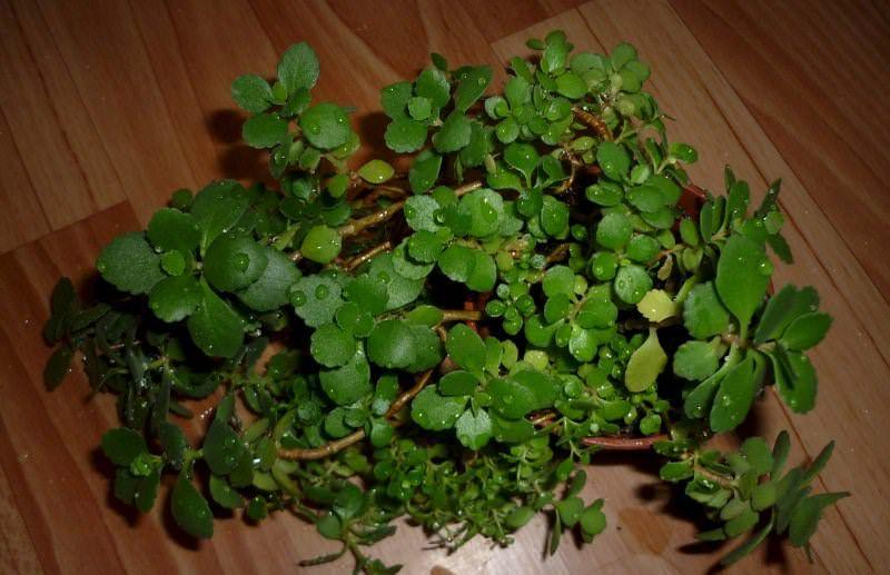 Чтобы размножить каланхоэ вегетативно с него нарезаются стеблевые черенки