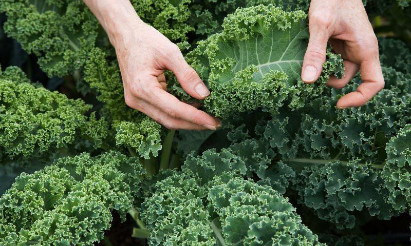 Листовая капуста - богатейший источник витамина К (филохинона), который нормализует свертываемость крови