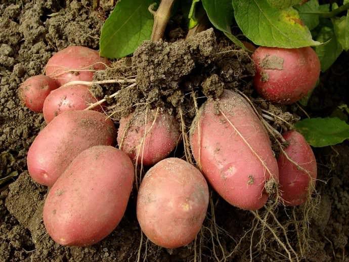 Посадка картофеля в 2017 году ничем не отличается от предыдущих лет