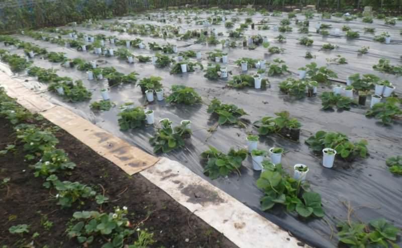 Дачники выбирают те или иные способы помещения рассады земляничных культур на грядки весной