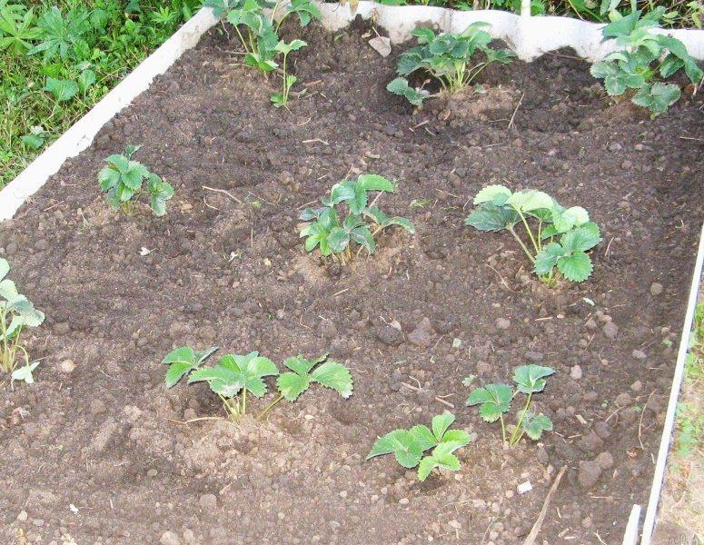 Место для посадки нужно выбирать не болотистое, чтобы грядки не топило водой в течение всего периода роста культуры