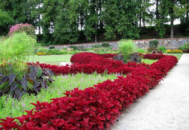 Кусты колеуса известны бархатистыми листьями необычной окраски, их часто сравнивают с крапивными