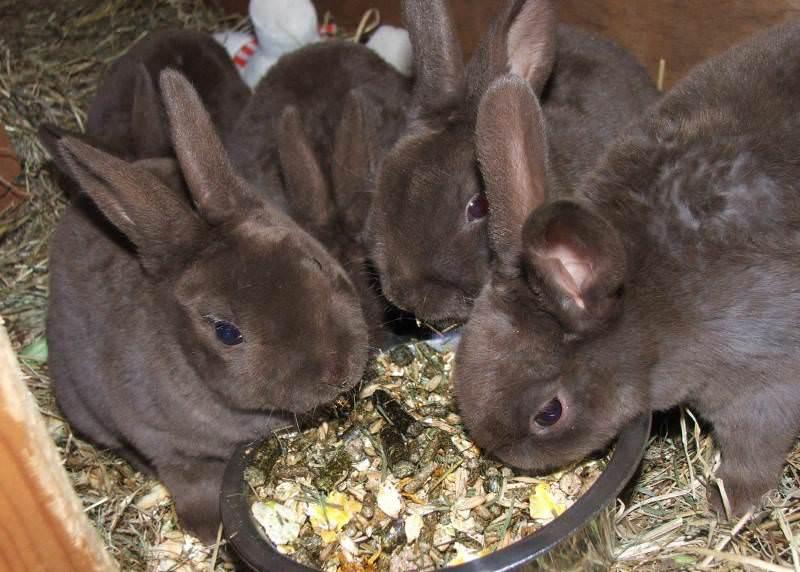 В питание кроликов мясных пород обязательно должны входить корма, насыщенные значительным количеством жизненно важных веществ