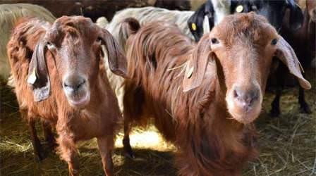 Благодаря стараниям селекционеров в настоящее время существуют самые разные породы коз