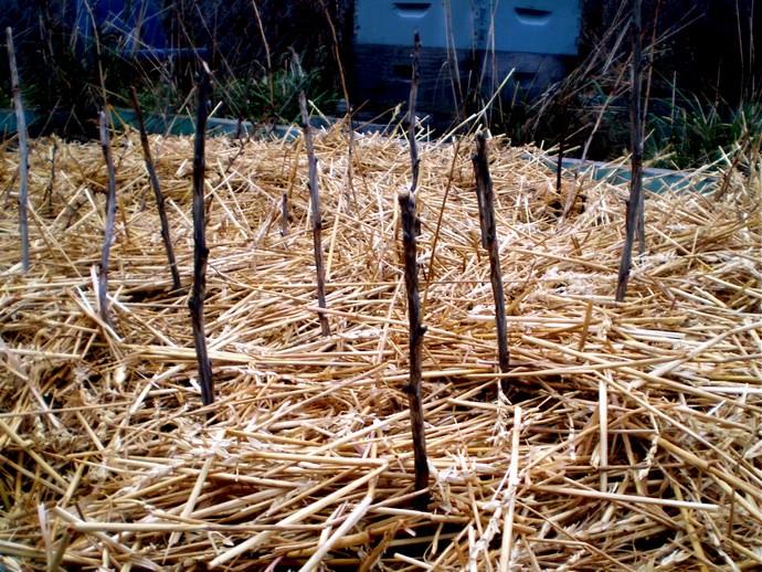 Самоплодные сорта смородины высаживают рядом друг с другом