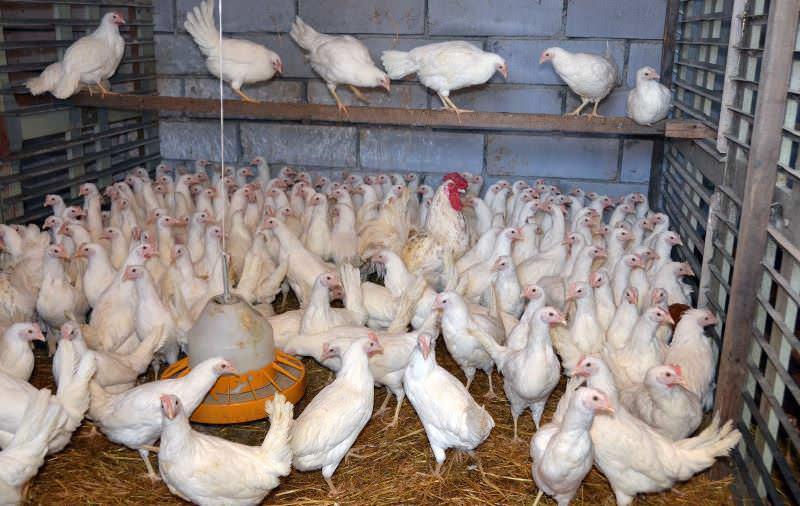 Хозяевам кур следует позаботиться о том, чтобы утеплить помещение, в котором зимуют эти домашние птицы