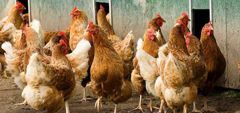 Еще одна причина снижения яйценоскости – другая пища, отличная от той, что давали раньше