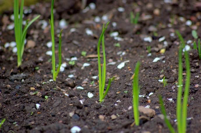 Чернушка способна прорасти в благоприятном климате уже спустя 2 недели