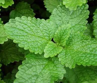Лимонная мята – растение, которое издревле применяется для лечения многих болезней