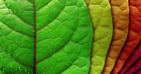 В некоторых случаях листья у свеклы начинается желтеть