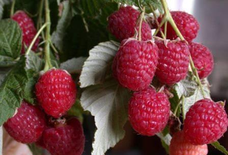 Эта ягода популярна у садоводов и любима многими за приятный вкус и лечебные свойства