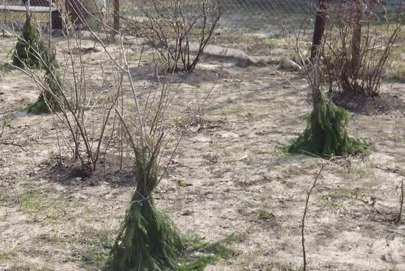 Молодые растения придется укрыть под зиму, после того как малина окрепнет, она сможет обходиться без укрытия