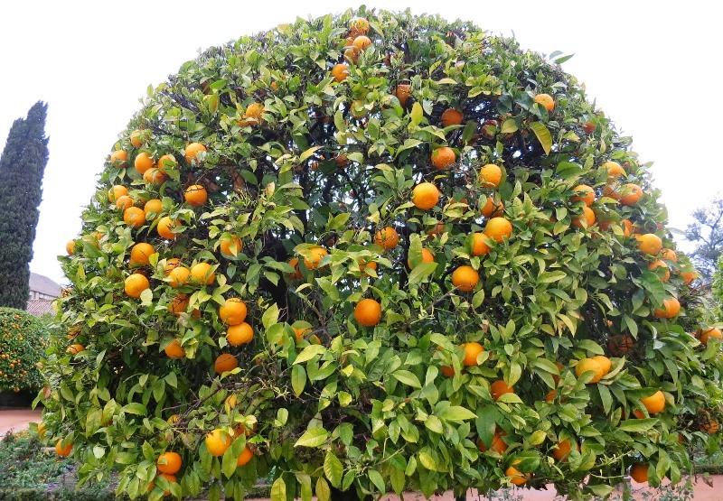 От того, как ухаживать за мандариновым деревом, зависит и успех в получении от него плодов, и даже их вкусовые качества