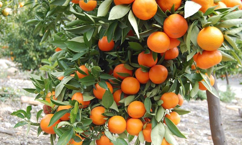 Размер плодов, их окраска и вкус тоже могут значительно различаться
