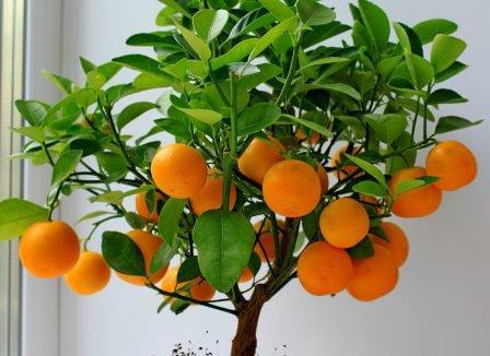 Комнатные мандарины успешно выращивают уже не одно десятилетие