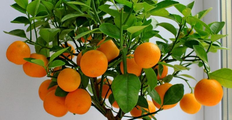 Выращивание комнатных цитрусовых - увлекательное занятие