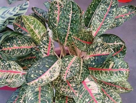 Маранта трехцветная – это травянистый многолетник, относящийся к семейству марантовых