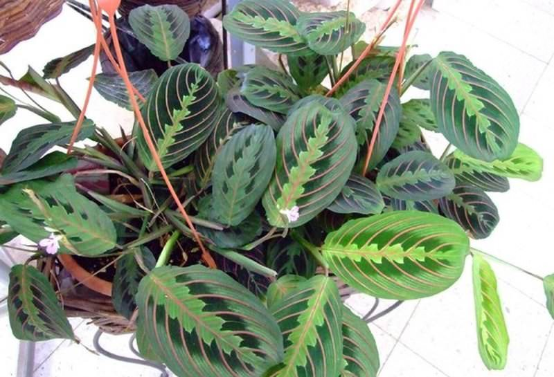 Овальные листья маранты трехцветной обладают бархатистой наружной поверхностью от светло-зеленого до темно-зеленого окраса