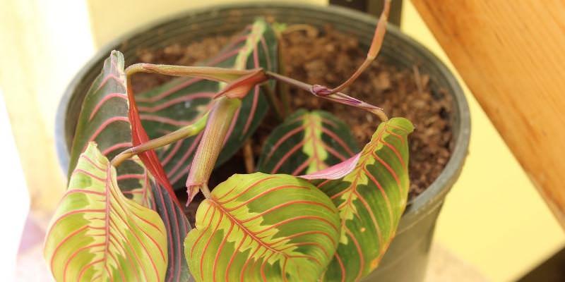 При неправильном ведении полива, когда вода попадает на листья, может начаться развитие грибковых заболеваний