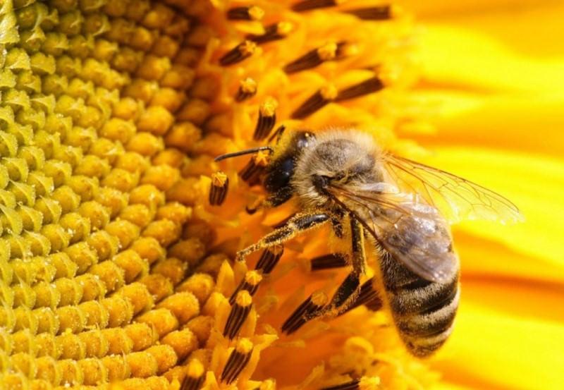 Вопрос о том, как пчелы делают мед, интересуют не только детей