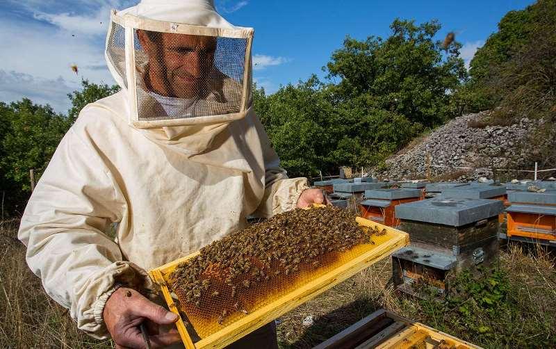 По мере того как консистенция меда становится более густой, пчелы переносят его из нижних ячеек в верхние, пока не заполнят рамку с сотами полностью