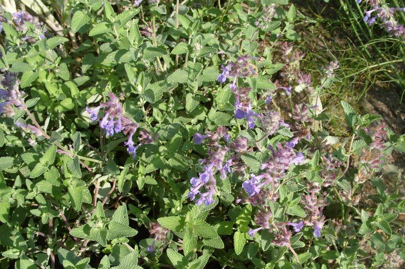 Цветы у растения выглядят маленькими букетиками, собранными вместе