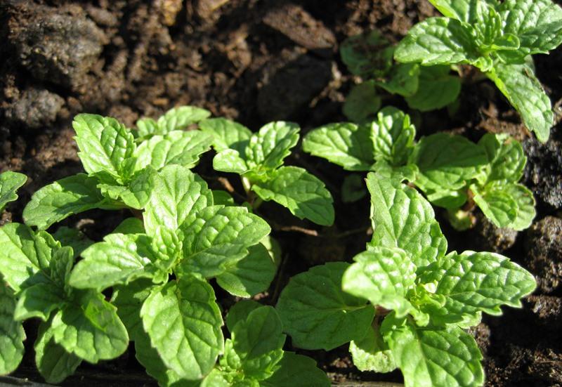 Главной приметой, по которой отличают мяту от похожих на нее растений, является ее запах