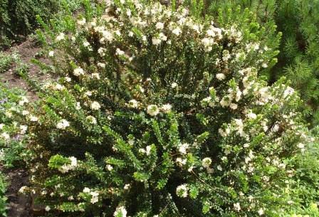 Мирт обыкновенный – вечнозеленый кустарник с ароматными листьями