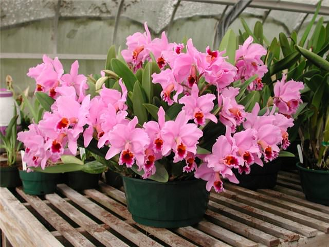 В поздний осенний и зимний периоды, декоративное растение в внесении удобрений не нуждается