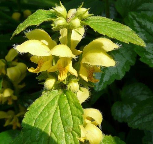 Зеленчук желтый – травянистое растение, из семейства Яснотковых